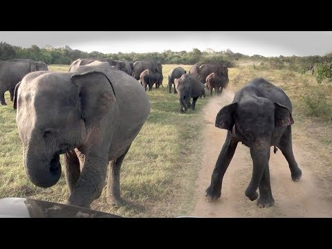 A herd of elephants chasing a jeep !