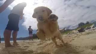 Gopro: Golden Retriever Puppy In Hawaii