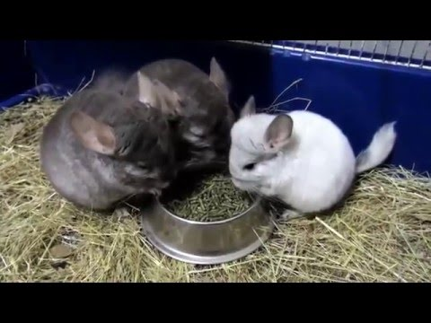 Chinchilla care - photo#40
