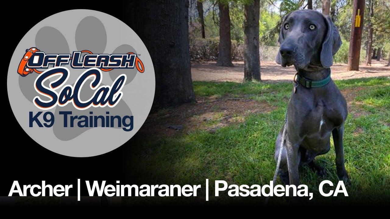 Archer | Weimaraner | Pasadena, CA