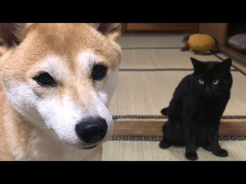 夕飯まで暇を持て余す柴犬と黒猫 Waiting for dinner