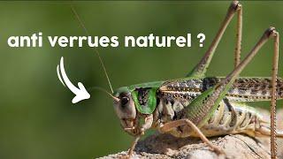 Utiliser des insectes en médecine ?