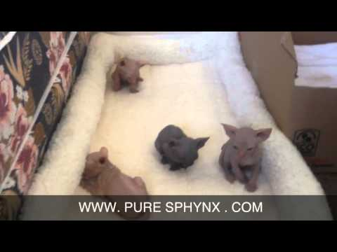 Sphynx Kittens for Sale - Shipping Available - Sphinx kitte