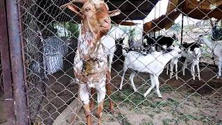Our HARNYA बारबेरी हरण्या बोकड बकरीवाले गोटफार्म goatfarming in india