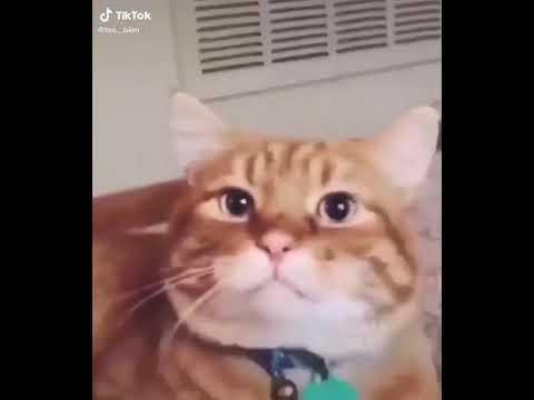 Yamete Kudasai Cat Version Youtube