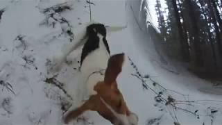 Охота на зайца 2017 с пегими гончими