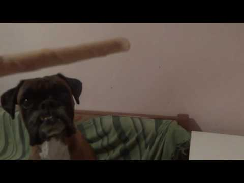 Lara the boxer dog chewing a bone - ASMR (some typing in the background)