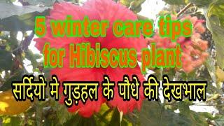 197_5 winter care tips for hibiscus( गुड़हल) flowering plant( Hindi/ Urdu)