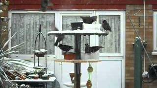 Starlings On A Diy Bird Table In The Snow.