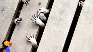 Raccoons Have The Cutest And Creepiest Lil Paws | The Dodo