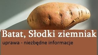 Batat, Słodki ziemniak, Wilec ziemniaczany, Patat - uprawa