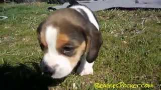 Toy Puppy Video Tiny Akc Pocket Beagle Puppy Cute Pup & Momma