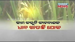 Chakada pests Fear in Sambalpur