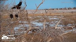 2019- Westminster Bald Eagles, Nesting Pair Fend Off Unwanted Guest