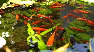Nuôi cá hồ xi măng 78 - Cá hồng kim, cá mún tên lửa, cá bảy màu, cá trân châu và cá bình tích
