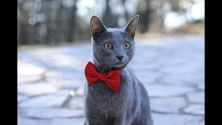Gentle and Loving Russian Blue Cat Facts