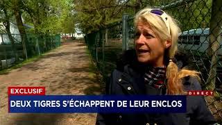 Deux tigres impliqués dans un incident au Zoo de Saint Édouard   Reportage