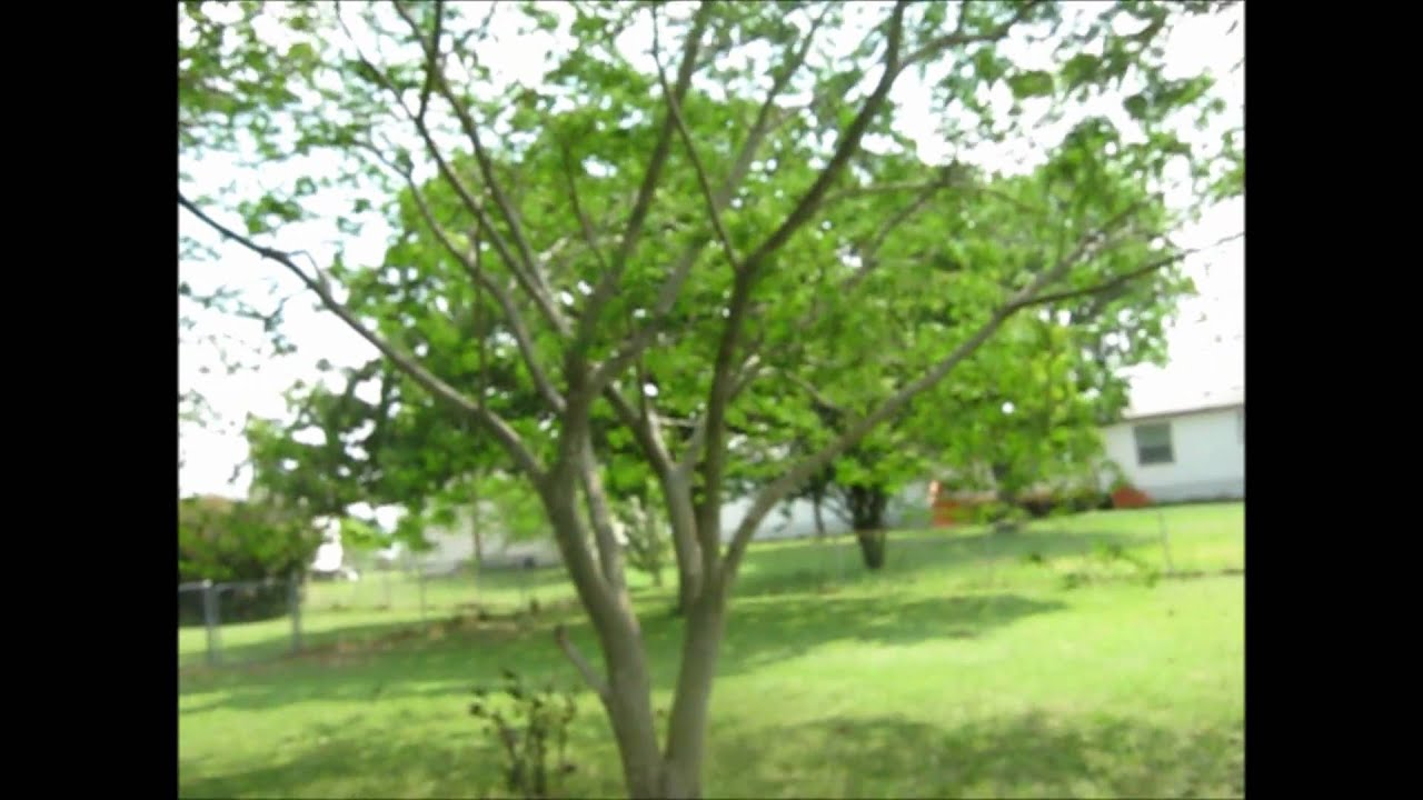 Front Yard Trees Youtube