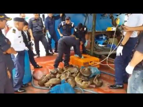 Malaysian Bintulu Maritime Enforcement Agency foils pangolin smuggling