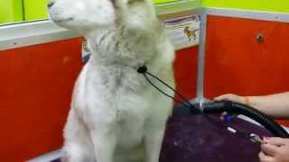 Shedding Season For A Siberian Husky