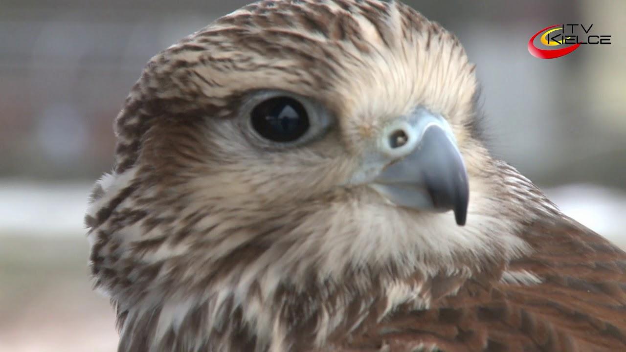 Drapieżniki w służbie Ogrodu Botanicznego – ITV Kielce