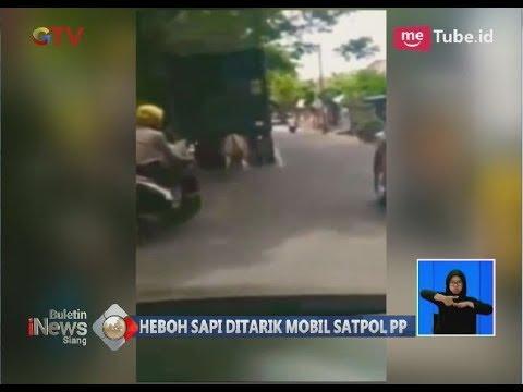 Tega!! Inilah Video Penyeretan Sapi yang Menggunakan Mobil Satpol PP - BIS 14/03