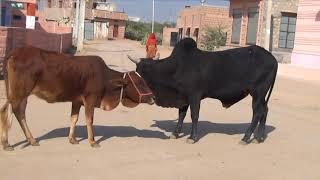 Коровы на озере, где зимуют журавли, Аnimals,Tiere, Раджастан, Индия