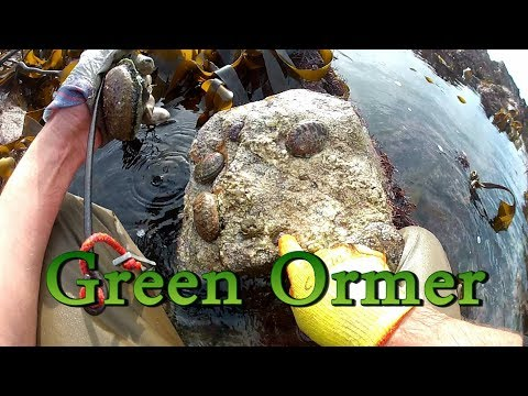 Searching For Green Ormers / Abalone In The Channel Islands ( Haliotis Tuberculata )
