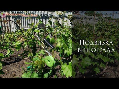 Подвязка винограда. Как правильно сделать первую подвязку зеленых побегов
