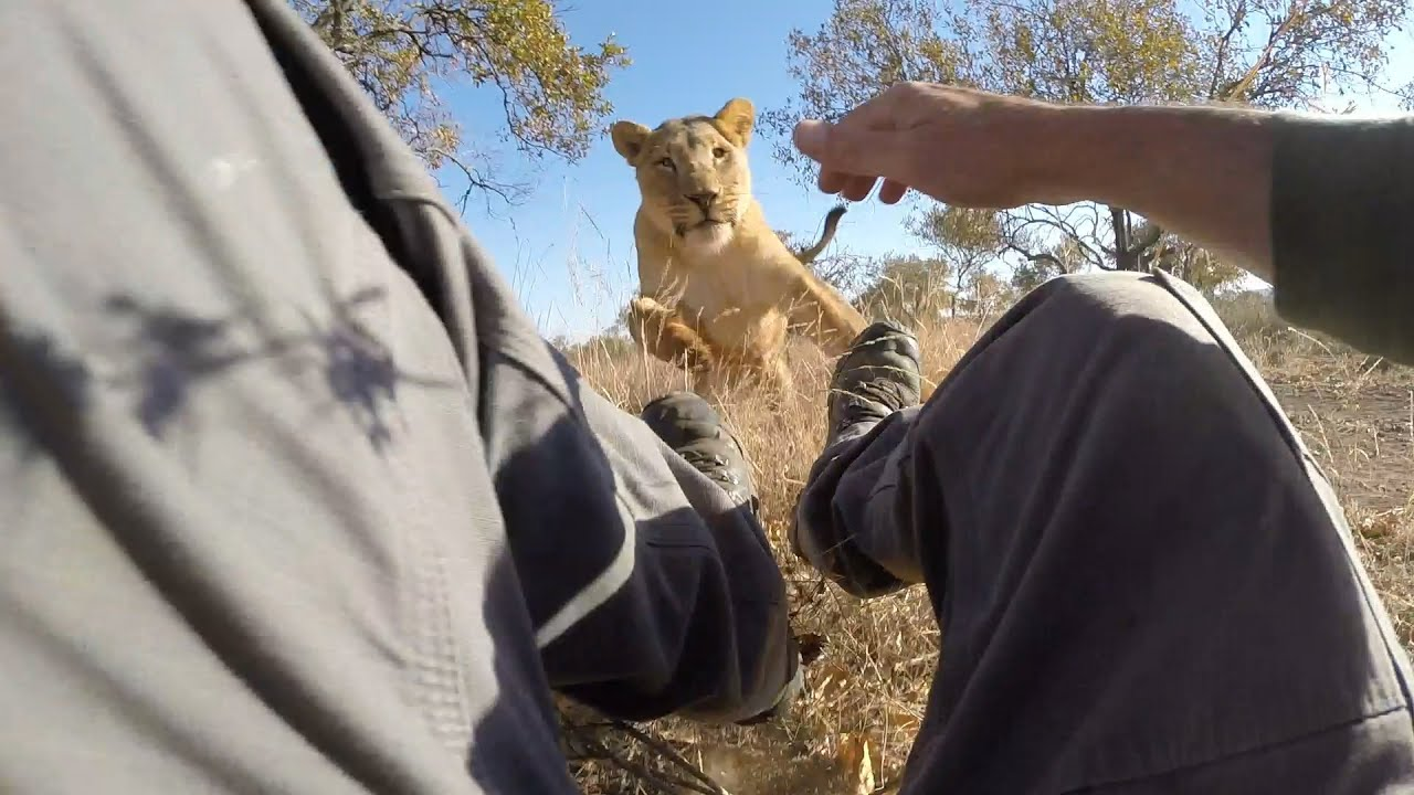 Lion Attack Compilation