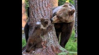 Нежный поцелуй мамы-медведицы попал в объектив