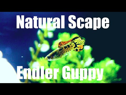 Natural Aquarium For Endler's Guppies (Galaxy Tiger Endlers)