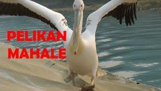 Sky flodhester og vennlig pelikan i Mahale.