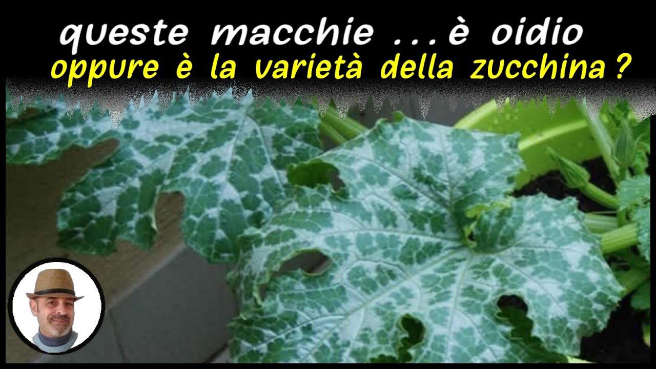 MACCHIE BIANCHE SULLE FOGLIE DELLE ZUCCHINE ...  varietà o oidio ?