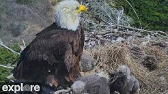 An Earthquake Scares a Bald Eagle