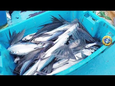 This is how the flying fish are caught