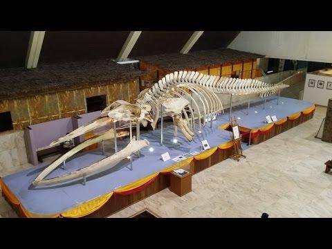 Visit Sabah Museum - Huge whale skeleton