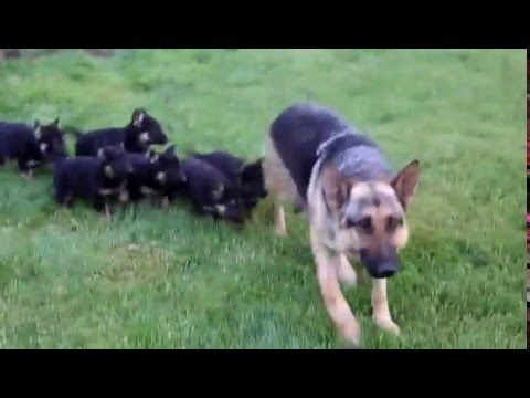 German Shepherd, Puppies, Dogs, For Sale, In Albany, County, Georgia, GA, 19Breeders, Alpharetta