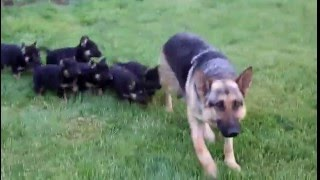 German Shepherd, Puppies, For, Sale, In, Denver, Colorado, Co, Fort Carson, Black Forest, Welby, Gre