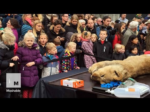 Denmark Zoo Dissects a Lion in Front of Hundreds of People | Mashable News