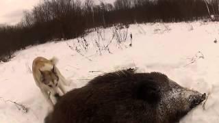 Охота на большого кабана с лайками