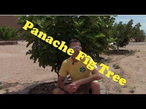 Panache Fig Tree