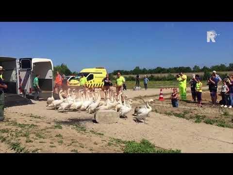 Alle 41 zwanen gingen richting het water.