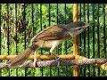 Burung Ciblek Sawah Gacor Ngamuk Suara Kasar Mantap Buat Masteran Durasi 1 Jam Gantangan(.mp3 .mp4) Mp3 - Mp4 Download