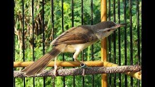 Burung CIBLEK SAWAH Gacor Ngamuk Suara Kasar Mantap Buat Masteran DURASI 1 JAM