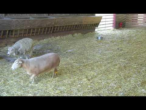 Sheep Barn Cam 05-24-2018 14:34:53 - 15:34:53