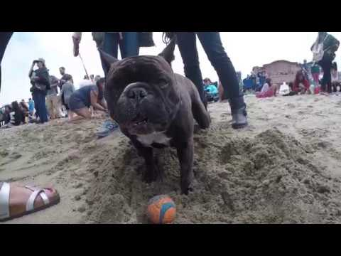 Momo at Dog Surfing Competition