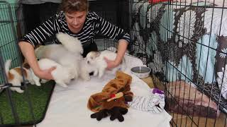 Coton de Tulear Puppies For Sale - Jolie 2/11/21