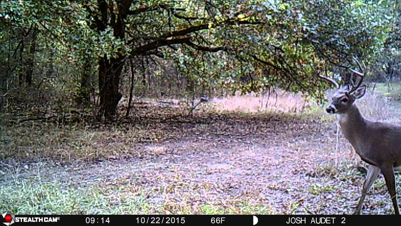 Shredder found the KV Whitetails doe scent, attacks the branches!