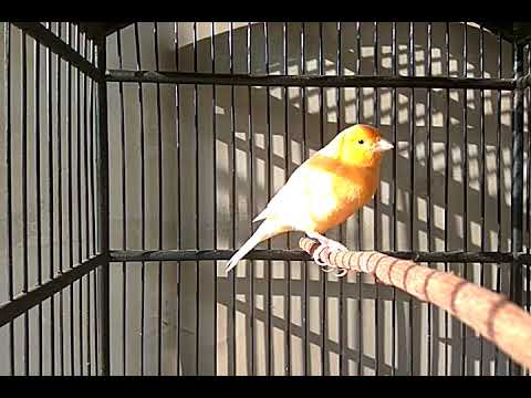 Best Indonesian Canary Singing in My House